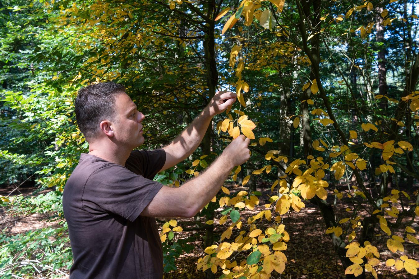 De bladeren van de krentenboom zijn nu al herfstgeel.