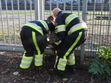 'Liefdevolle redding' van beknelde ree door brandweerlieden in Boxtel