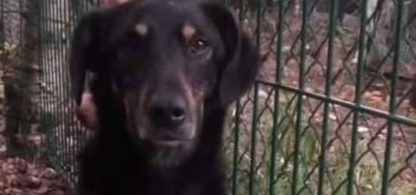 Vermiste hond Nola uit Eindhoven na 52 dagen gevonden in België: 'We gingen al uit van het ergste'