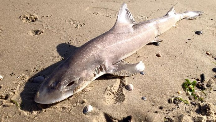 De gladde haai spoelde zaterdag aan op het strand van De Cocksdorp op Texel