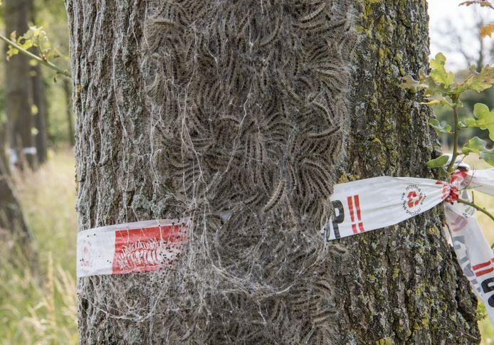De eikenprocessierups op een boom in Hengelo trekt zich weinig aan an het afzetlint.