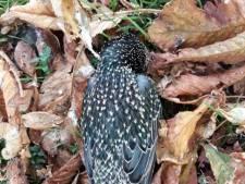 Massale mysterieuze spreeuwensterfte: weer 30 dode vogels gevonden