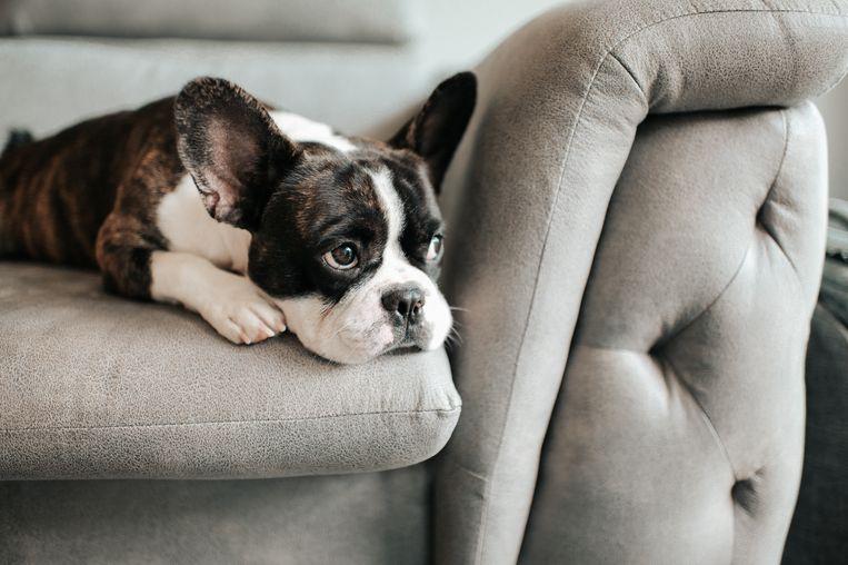 Dít is hoelang je hond maximaal alleen thuis kan blijven (en dat is eigenlijk best kort) Beeld Getty Images