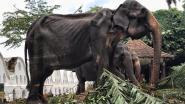 Uitgemergelde olifant die moest meelopen in parade in Sri Lanka gestorven