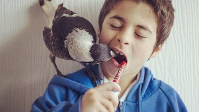 Té schattig: ekster Penguin leeft als huisdier bij Australische familie