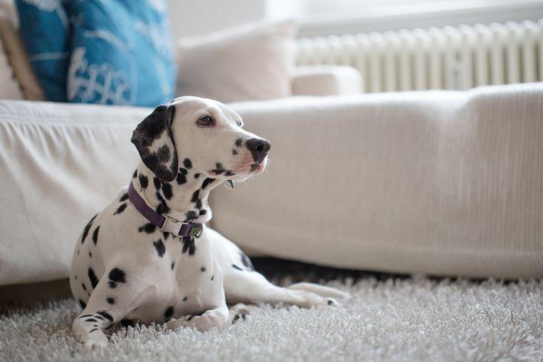 Dalmatiër. Beeld Getty Images/iStockphoto
