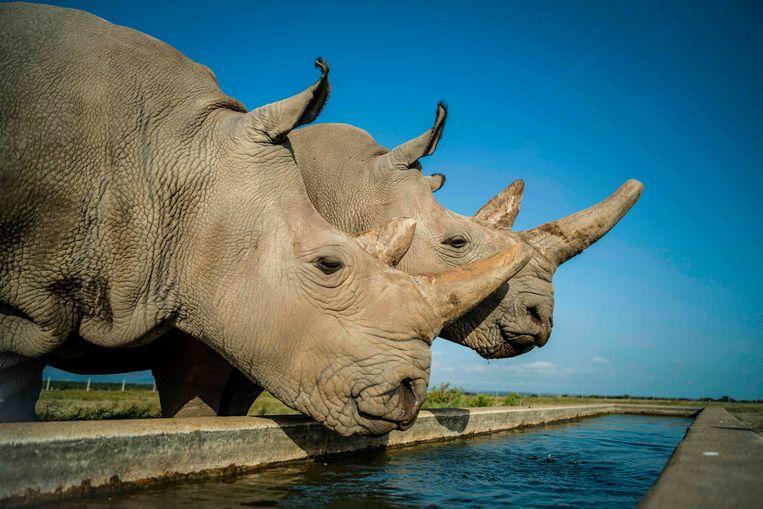 Moeder Najin en dochter Fatu drinken in het Ol Pejeta reservaat in Kenia. Zij zijn de laatste twee overgebleven noordelijke witte neushoorns, maar kunnen niet zwanger worden.  Beeld Ami Vitale / Ol Pejeta Conservancy / AFP
