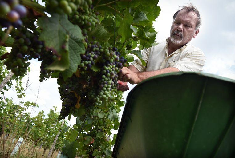 Rob Roth knipt de druiven er tussenuit die niet snel genoeg rijpen. Beeld Marcel van den Bergh / de Volkskrant