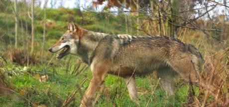 Gemeenteraad Duitse plaatsje Schermbeck wil wolvin doden: kansloze missie
