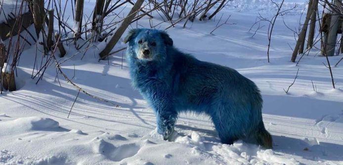 Eén van de blauwe honden in Rusland.