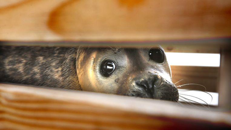 Zeehond in de opvang in Pieterburen. Beeld ANP