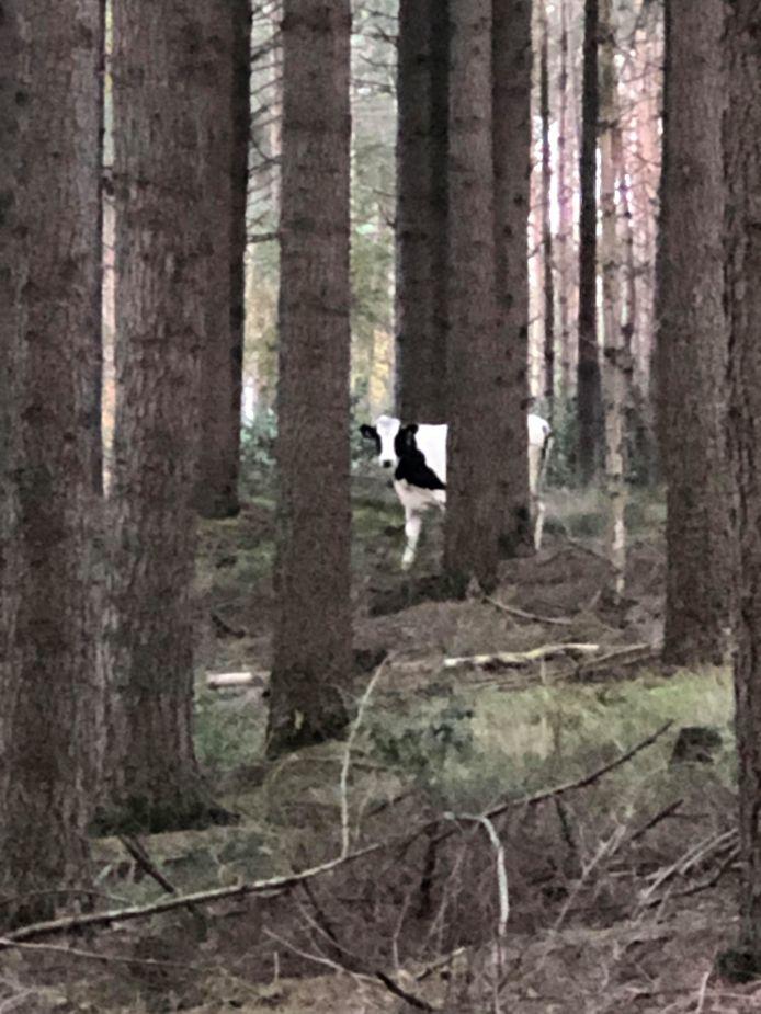 Tussen de bomen op de Lemelerberg wandelt deze zwartbonte koe.