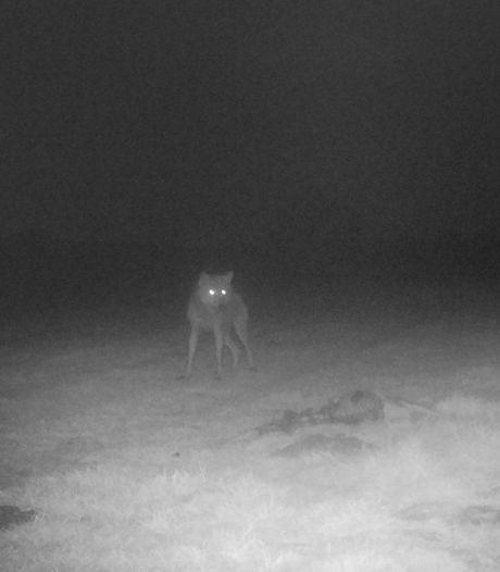 Een wolf, een hond en nu tóch een wolf: DNA geeft uitsluitsel over 25 dode schapen Kalmthoutse Heide