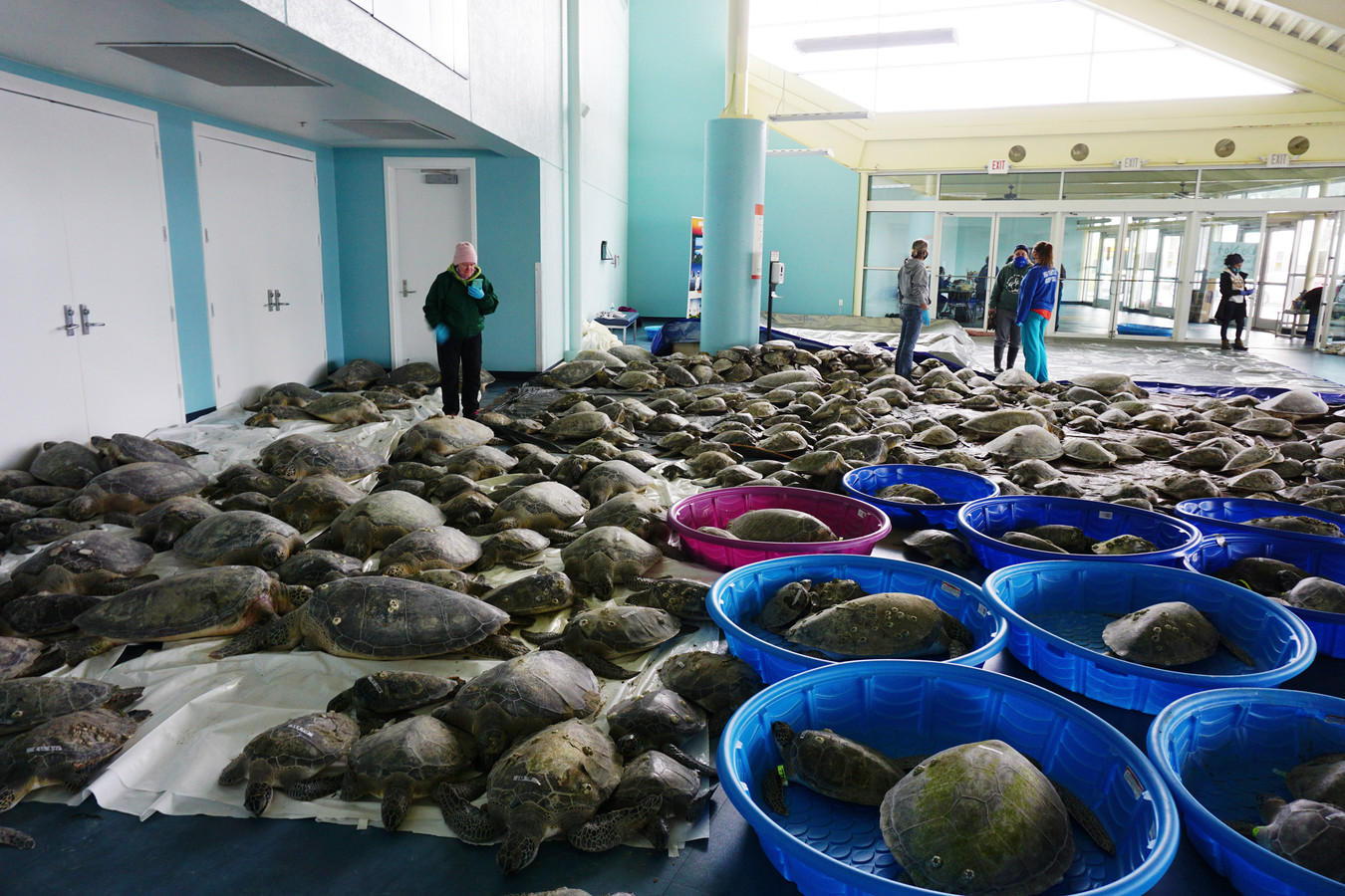 De schildpadden  zijn niet gewend aan de lage temperaturen en komen massaal aan land.