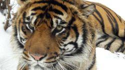 Tijger valt trainster aan in Amerikaanse Zoo