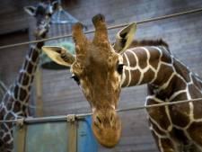 Marius le girafon a été exécuté