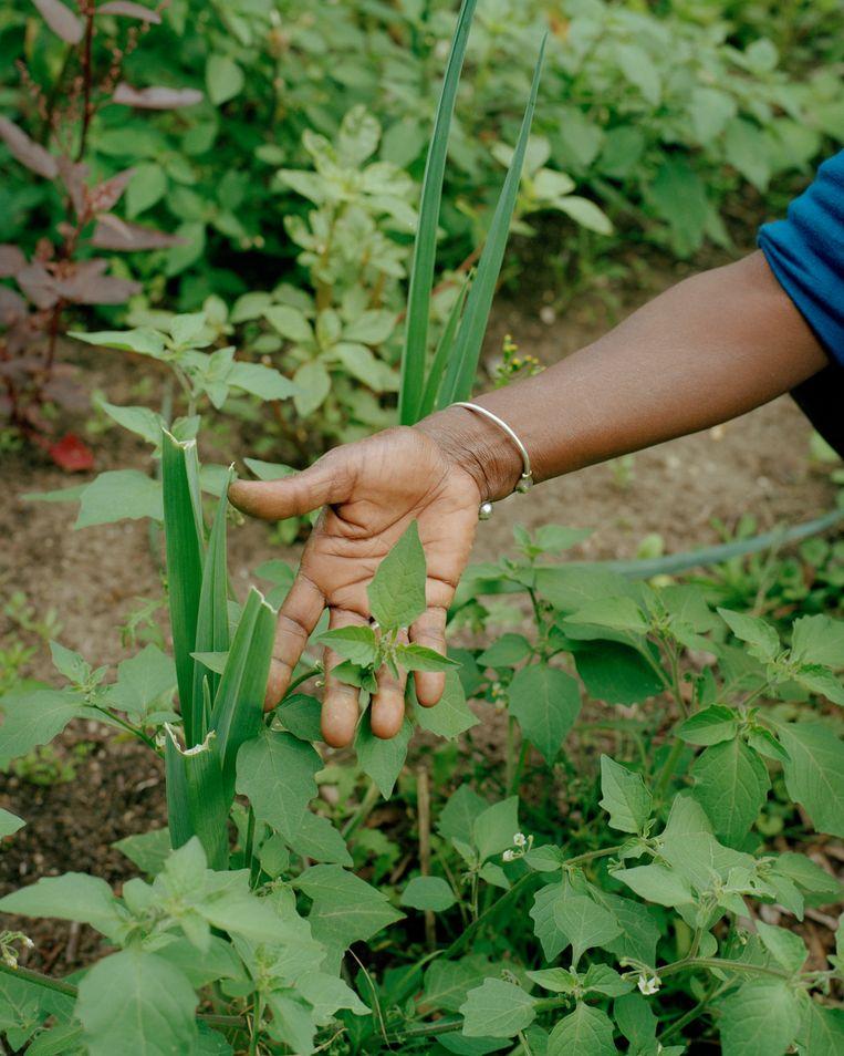 De Surinaamse groente gomawiri, ook wel: zwarte nachtschade.   Beeld Sem Langendijk