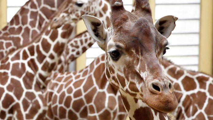 In Blijdorp krijgt een aantal giraffen nu tijdelijk de prikpil, maar om gezondheidsredenen kan dat niet al te lang.