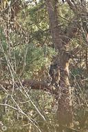 Het mannetje zit in een boom op de uitkijk bij de steengroeve in Winterswijk.