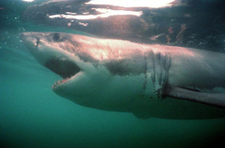Een grote witte haai. Beeld anp