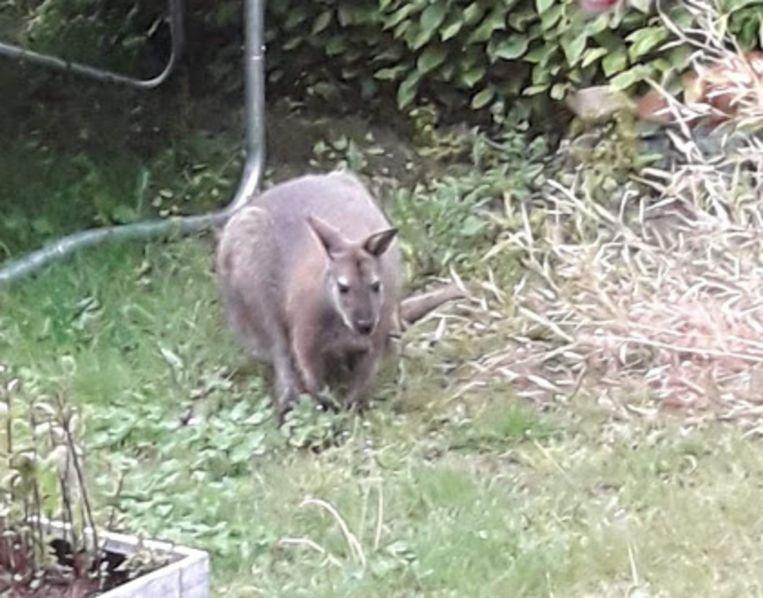 De ontsnapte wallaby.