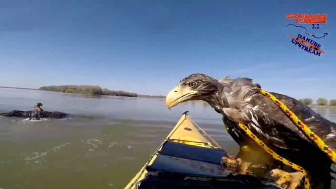 Kajakkers spotten dobberende zeearenden, maar roofvogels laten zich niet zomaar redden