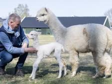 Jonge alpaca ziet levenslicht in Haaksbergen: 'Als het vlies er eenmaal af is pluizen ze helemaal op'