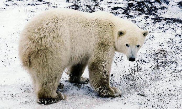 Een illustratiebeeld van een ijsbeer.