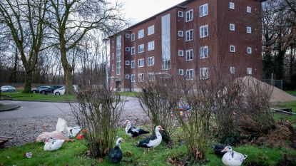 """Vogelopvangcentrum vangt overlasteenden in Otterbeek: """"Elke ochtend liggen er uitwerpselen voor mijn deur"""""""