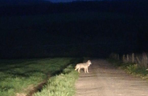 De wolf dook in de nacht van 30 april op 1 mei op in de buurt van Neufchâteau. Het leidde tot deze foto.