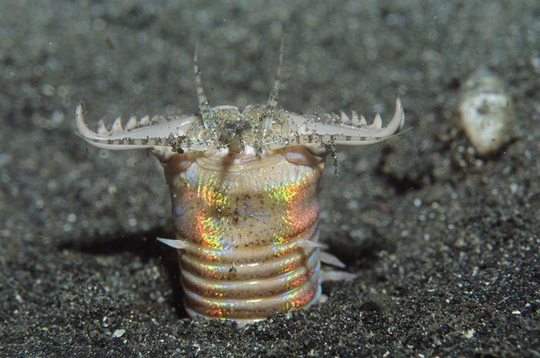 De tentakeltjes steken omhoog als de periscoop van een onderzeeër.  Beeld Hollandse Hoogte / Nature Picture Library