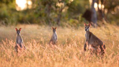 Gaia wil kangoeroevlees uit Belgische winkelrekken bannen