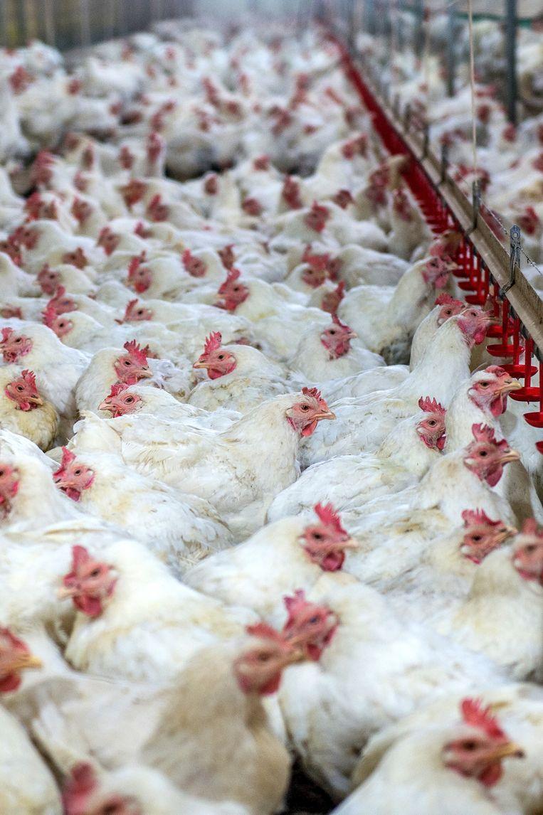 Van wat de kippen eten tot wanneer ze geslacht zijn. Als het van het IJslandse bedrijf Marel afhangt kent de voedingsindustrie geen geheimen meer voor de consument.  Beeld © gutarphotoghaphy