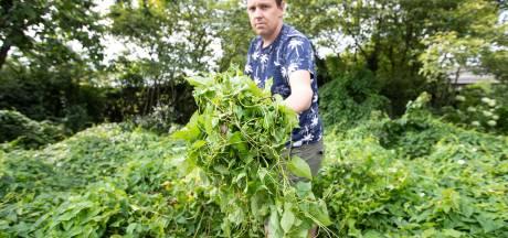 Help, de haagwinde woekert in de Twentse tuinen (maar dit kun jij er tegen doen)