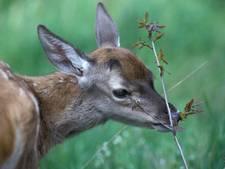 Hoge Veluwe begint maand eerder te jagen op edelherten