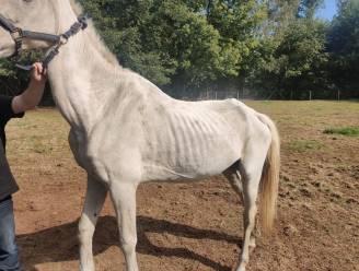 """Vier verwaarloosde paarden en drie pony's in beslag genomen na advertentie op tweedehandssite: """"Geen druppel water op de warmste septemberdag"""""""