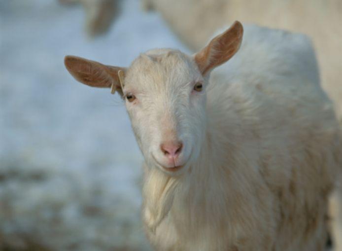 De geitenkwestie in Maasdriel is aan het verharden.
