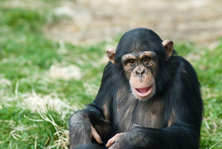 De cultuur van chimpansees staat onder druk. Beeld Imageselect