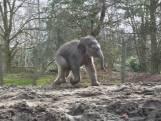 Olifantenkalfje Rashmi ontdekt voor het eerst buitenverblijf van Dierenrijk in Mierlo