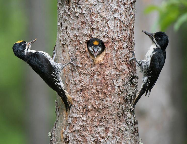 De zwartrugspecht en komt voor in bosrijke gebieden in Noord-Amerika. Beeld rv