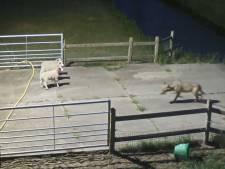 LTO wil losgeslagen Brabantse wolf verdoven, vangen en verplaatsen: 'Op de Veluwe is plek genoeg'