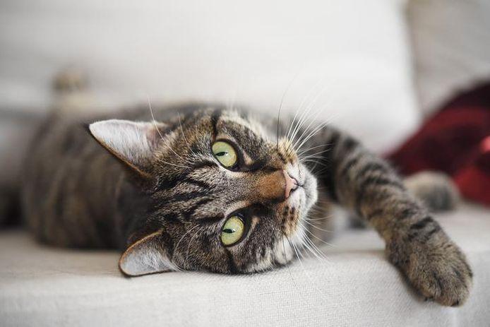 Een kat relaxt in een zetel. Moeten we hen voortaan binnen houden?