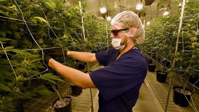 Een legale cannabiskwekerij in Las Vegas. Beeld afp