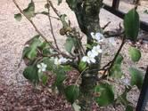 Deze perenboom denkt dat het alweer lente is