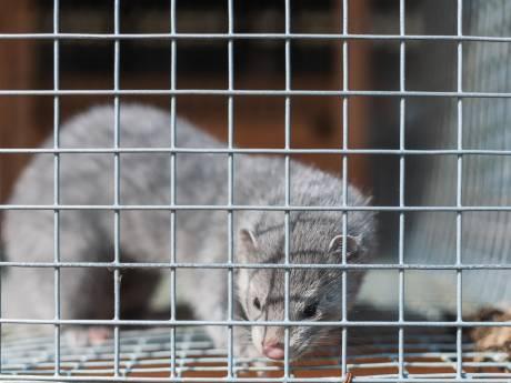 Animal Rights: 'Nertsenbedrijven in Valkenswaard en Rosmalen overtreden coronaregels en mishandelen dieren'