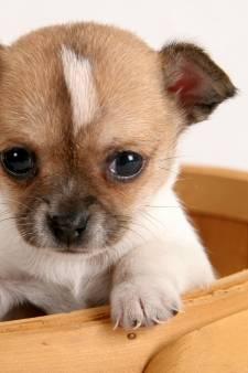 Dierenasiel vreest onhandelbare honden door corona en komt met 'puppy speeltijd'