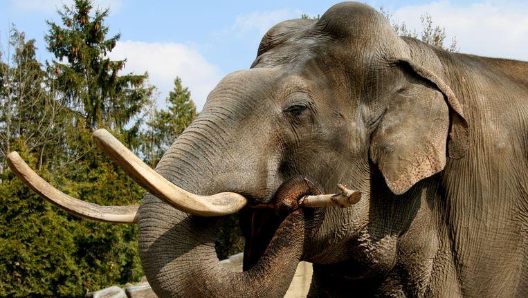 Olifant Hussein moest voor kleine olifantjes zorgen in Planckendael. Beeld Tierpark Hagenbeck / Berlik