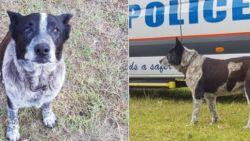 Dove en deels blinde hond ontfermt zich over verloren gelopen meisje (3) in Australische bush