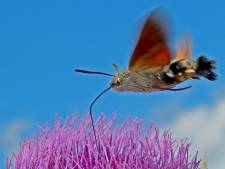 Kolibrievlinder overwintert nu ook in Nederland