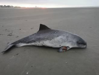 Geredde bruinvis zwemt nog rond in opvangcentrum, maar overlijdt toch